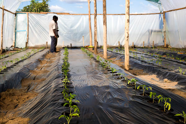 Image shows the interior of the Kuwala Campus greenhouse growing tomatoes