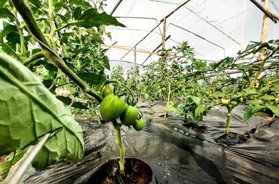 Image of Tomato plants growing in Kuwala's greenhouse.