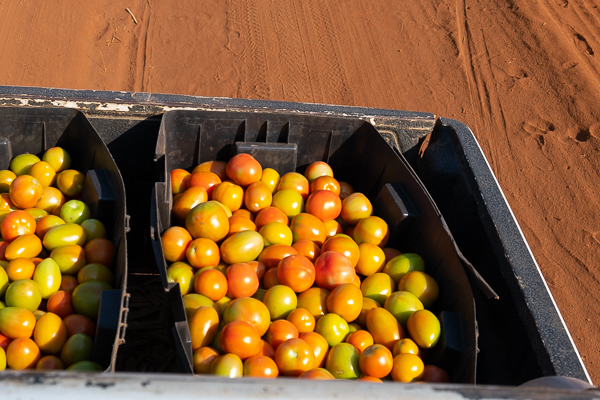 Tomatoes on the truck heading to the Market. Aug-20