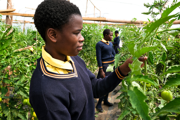 Image of Kuwala student caring for the tomato crop in the greenhouse.